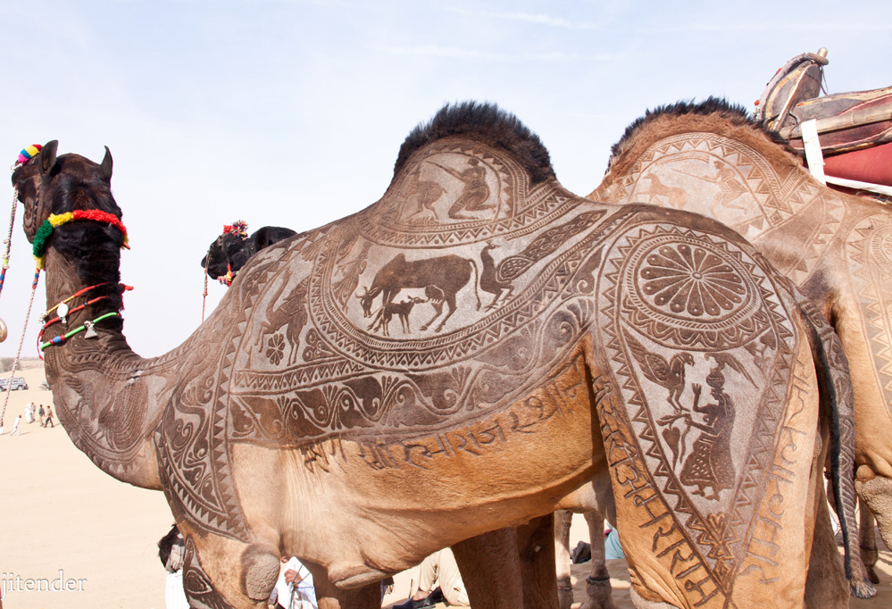 Bikaner Camel Farms