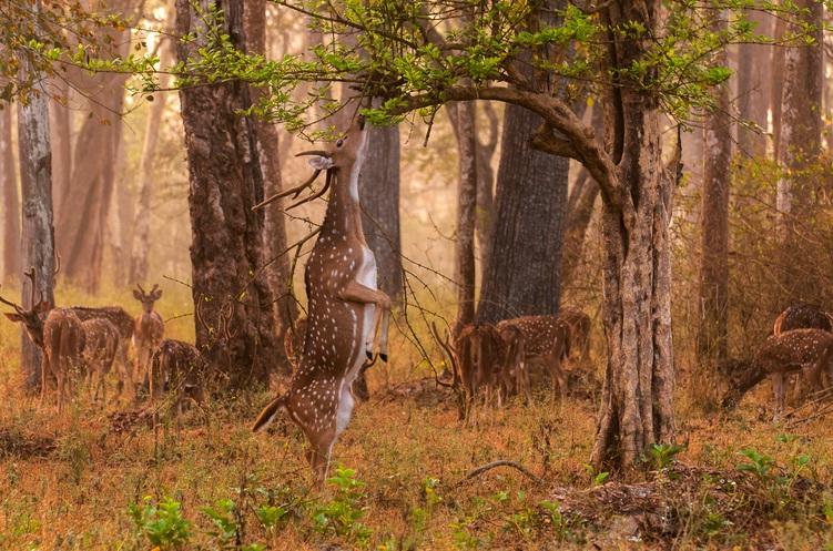 Chital at Jim Corbett National Park