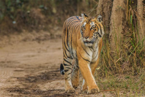 Tiger at Jim Corbett National Park