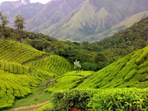 tea gardens munnar